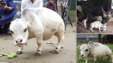 Everything you need to know about world smallest cow, name Rani